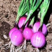 Onion Purplette Bunching type Appx 250 seeds